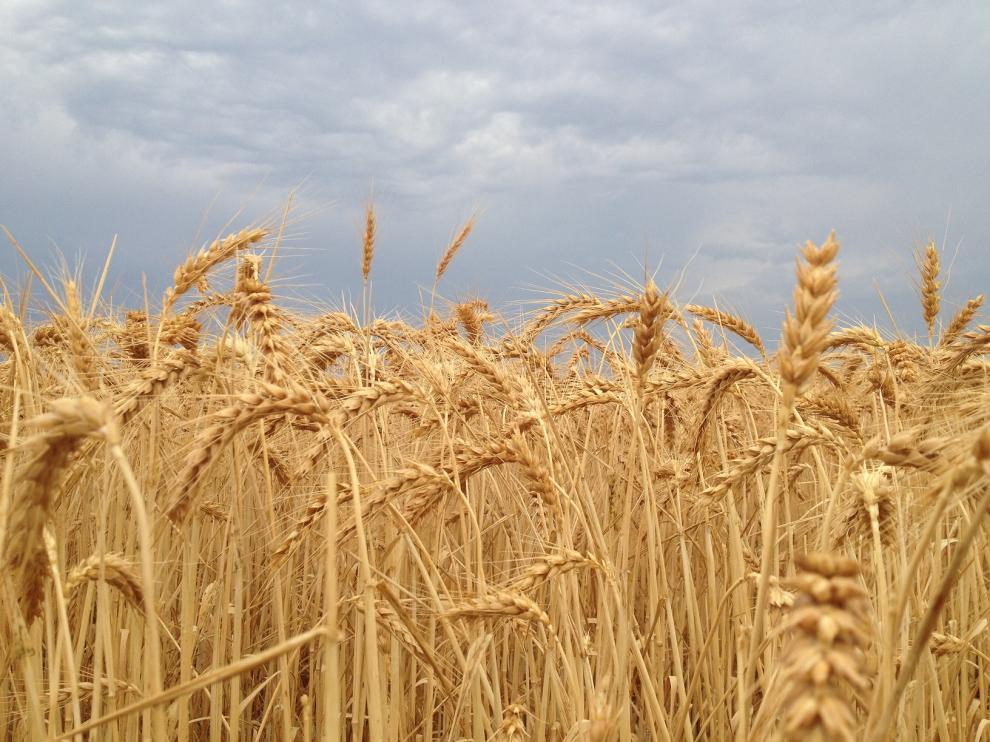 Campo de cereal de la comarca de la Hoya de Huesca