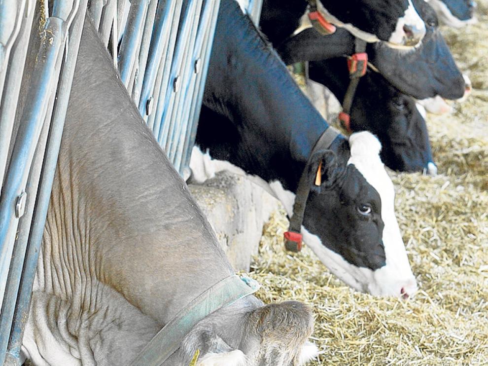 Explotación de vacas de leche en la provincia.