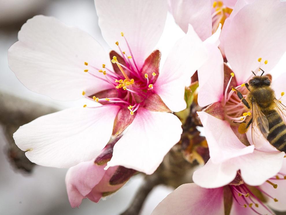 Una abeja recolecta el polen de una flor de almendro.