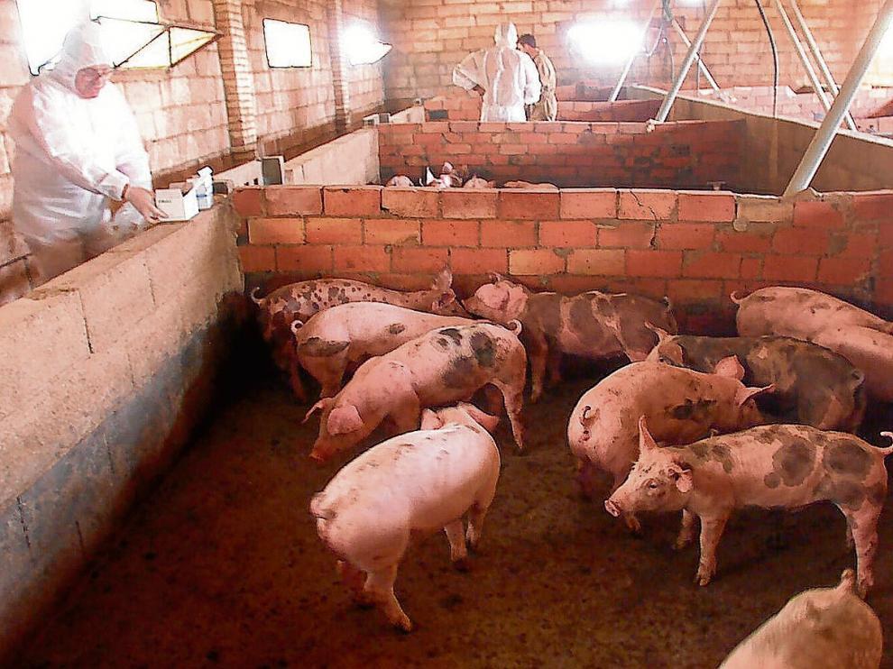 Unos lechones descansan en una granja de la Fresneda, en la comarca del Matarraña. ha