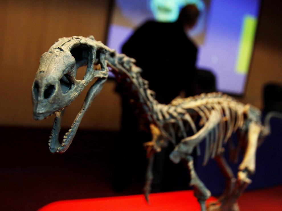 Vista del esqueleto fósil de la nueva especie de dinosaurio Chilesaurus diegosuarezi.