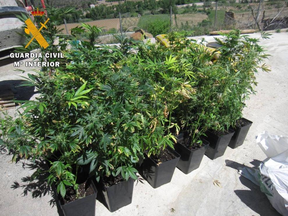 Un total de 32 plantas de marihuana en avanzado estado de crecimiento