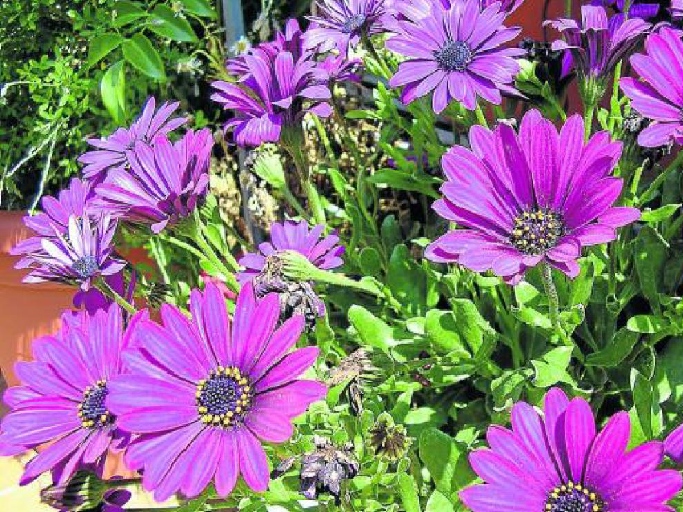 Las dimorfotecas destacan por su colorido vibrante, que puede ir del violeta osucuro al blanco liminoso.