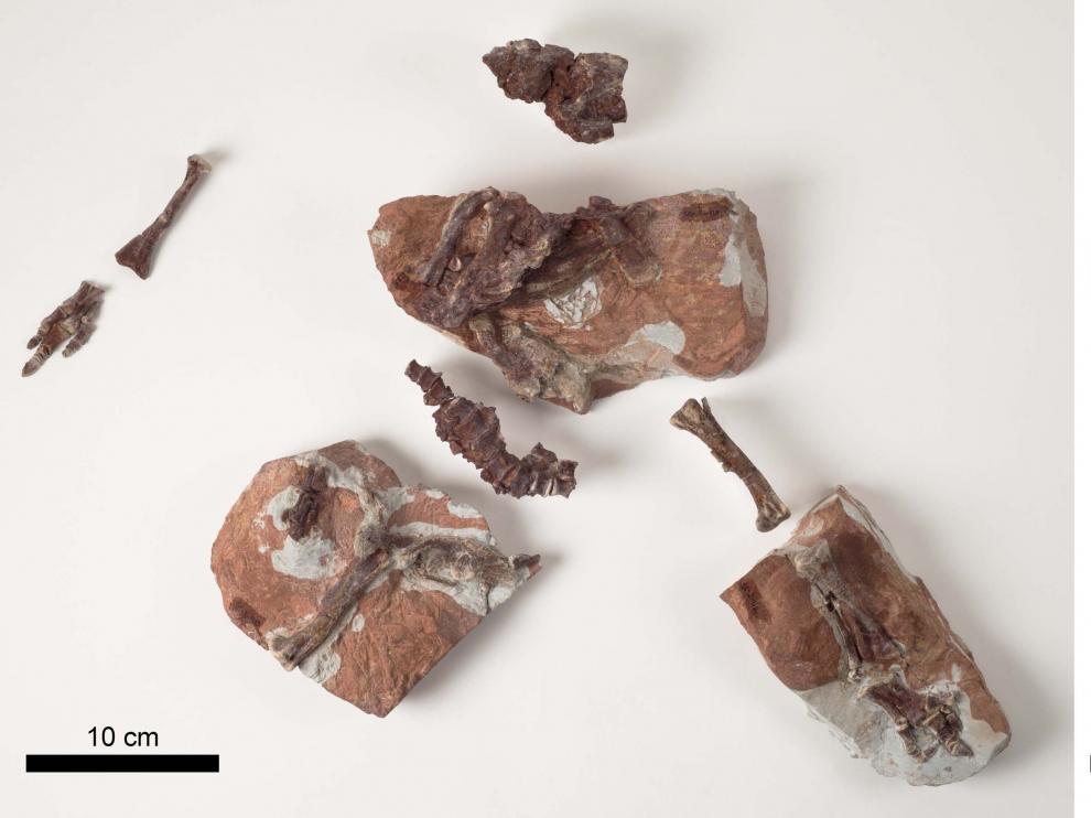 Esqueleto articulado de una cría de Iguanodon galvensis y detalle del pie derecho.
