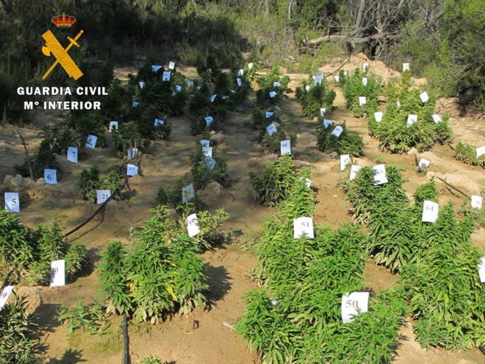 Plantación de cannabis intervenida en Maella