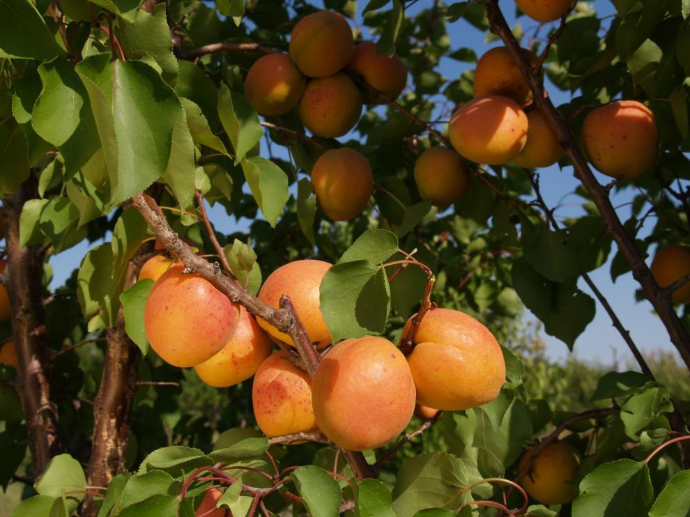 Albaricoques ecológicos de Frutas Berdejo