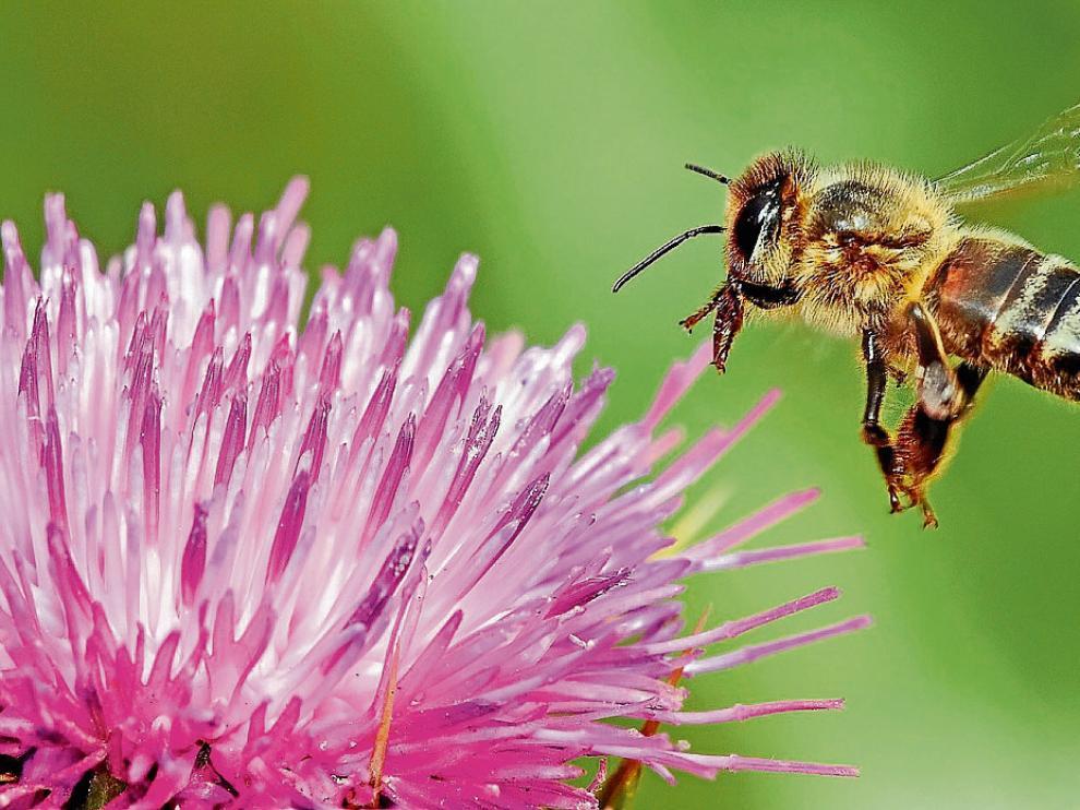 Una abeja se alimenta de la flor del cardo mariano.  Es una planta popular en los ribazos.