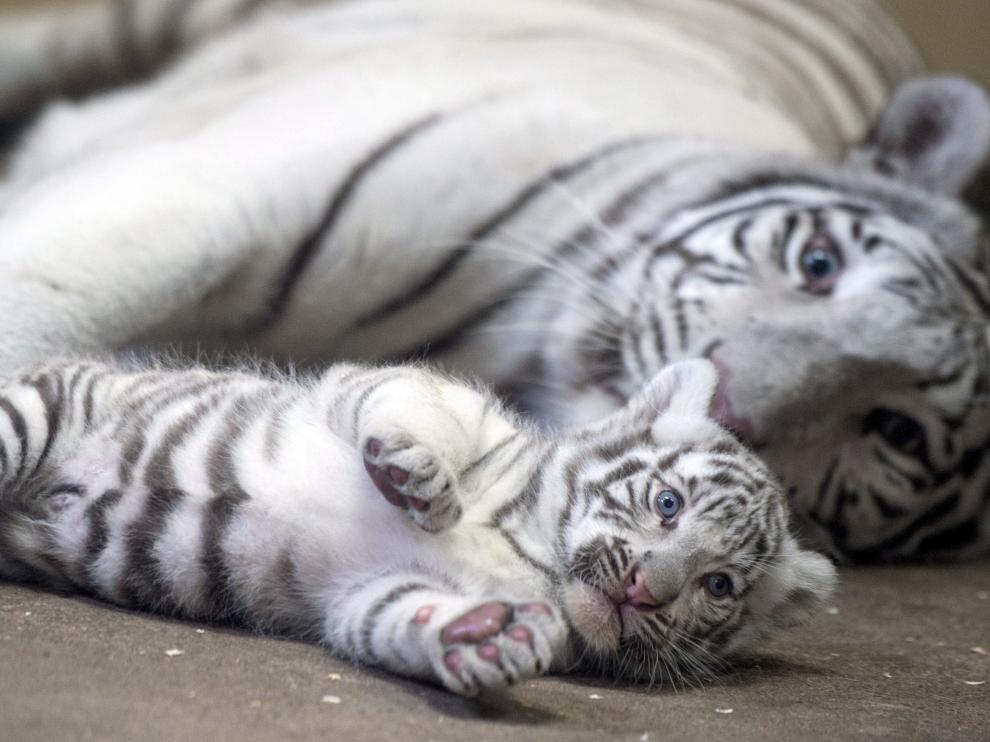 Un tigre de Bengala blanco juega con su cría.