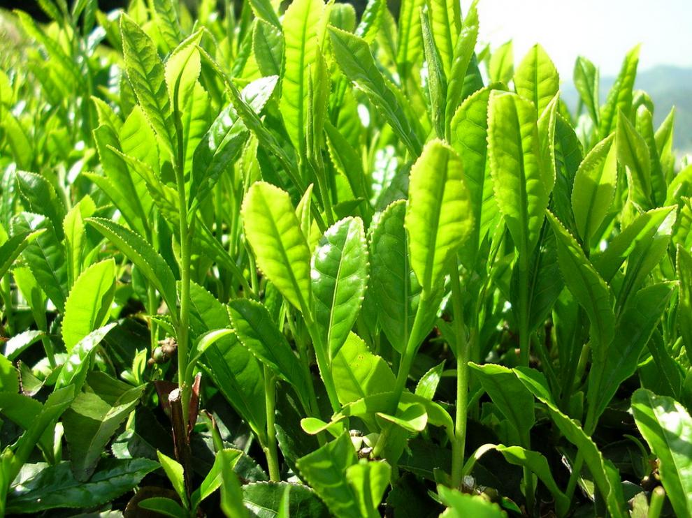 Algunos compuestos presentes en el té verde pueden servir para tratar enfermedades metabólicas.
