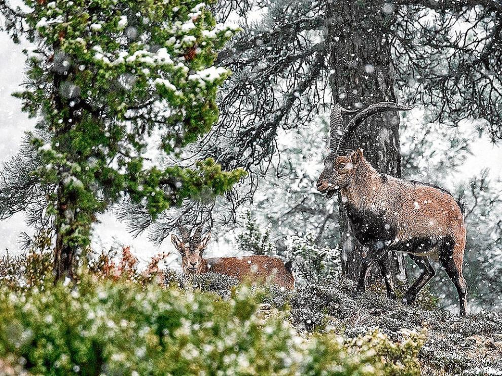 La imagen premiada, en la que aparecen dos cabras monteses bajo la nevada.