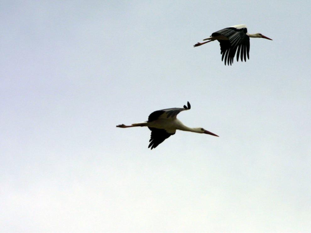 Una pareja de cigüeñas blancas en el cielo soriano.