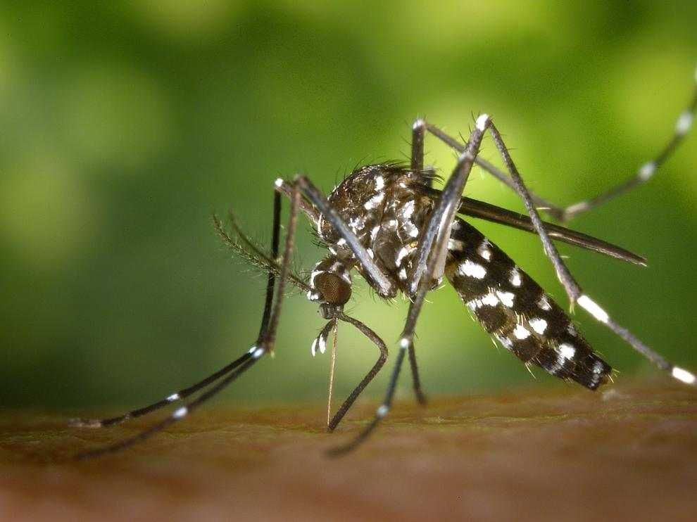 Imagen del mosquito tigre.