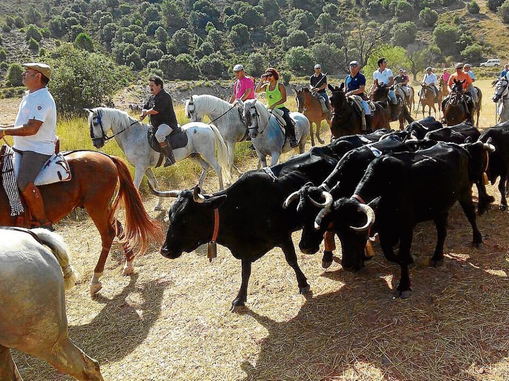 Los caballistas conducen al rebaño de vacas avileñas, que son totalmente mansas.