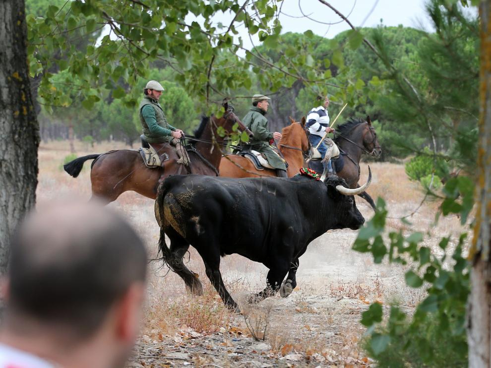 El martes se celebró el festival del Toro de la Vega en Tordesillas.