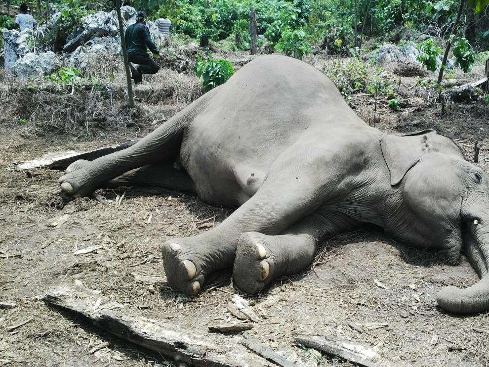 Uno de los elefantes envenenados con cianuro.