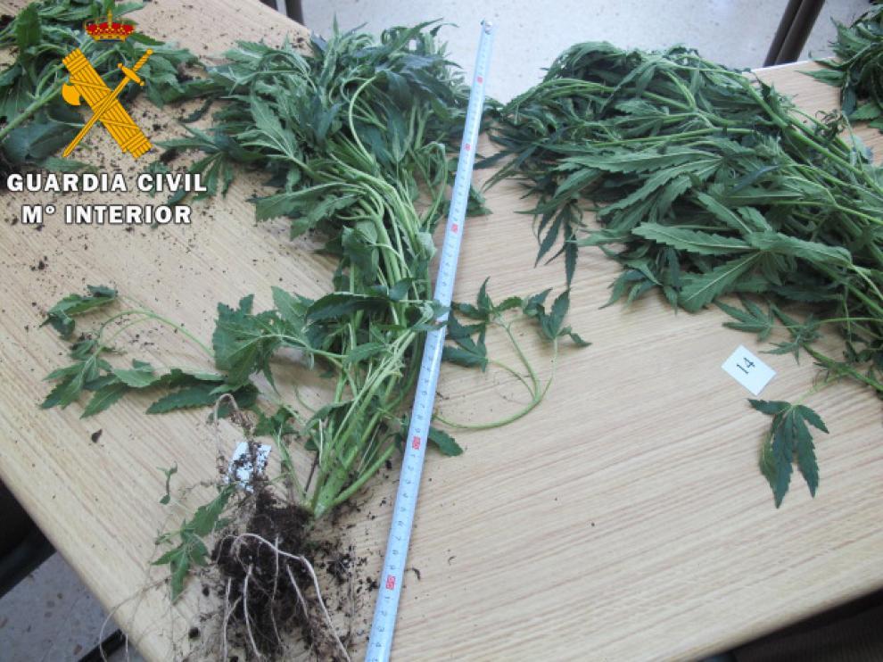 Plantas de marihuana decomisadas en Teruel