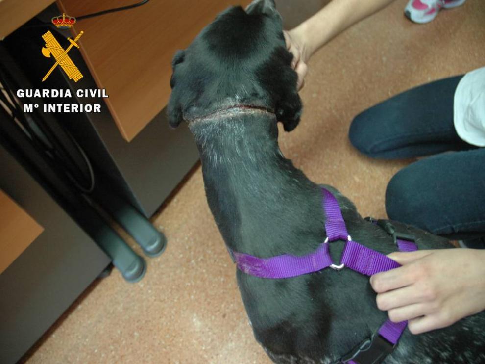 Heridas en el cuello de un perro en un caso de maltrato en Aragón.