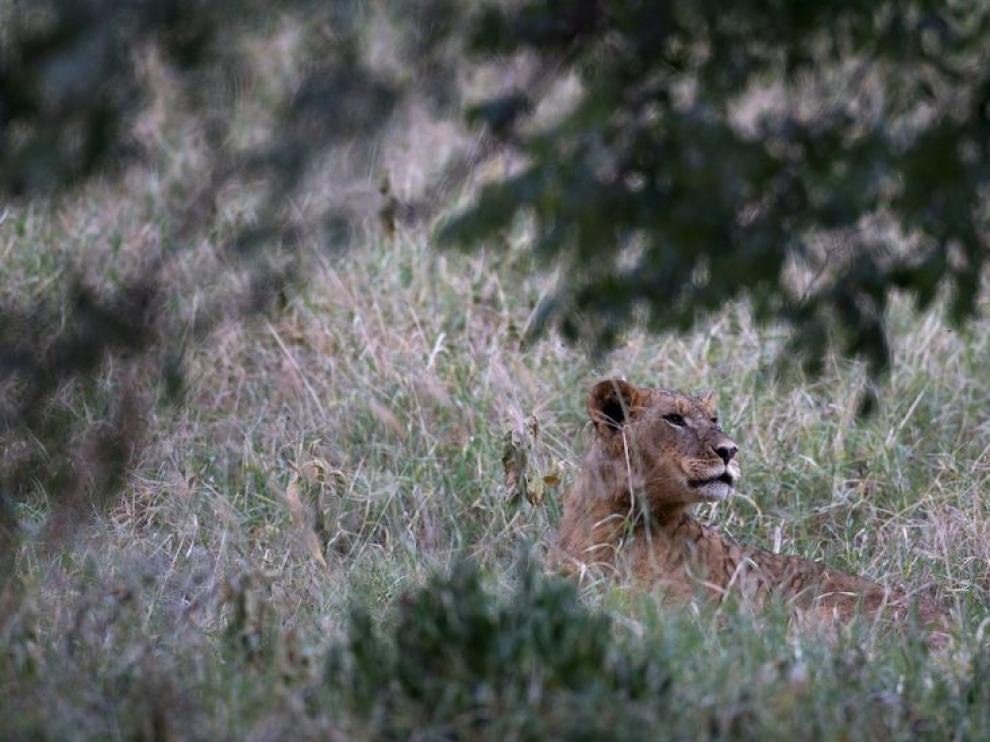 Imagen de archivo de un león.