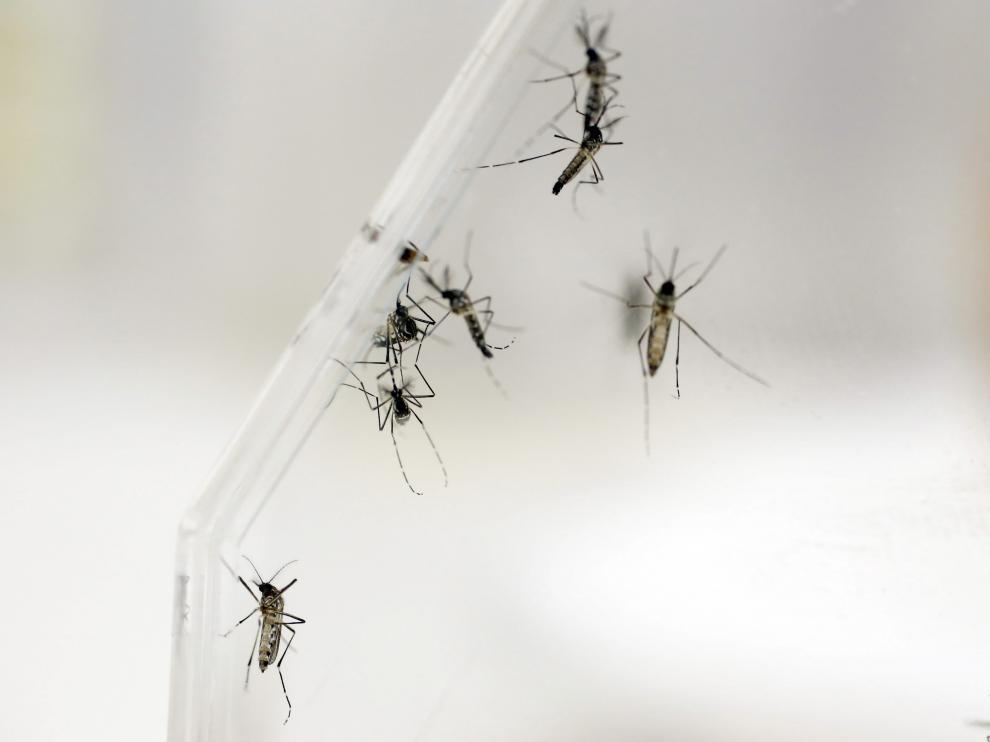 Aedes Aegypti, mosquito que propaga el dengue.