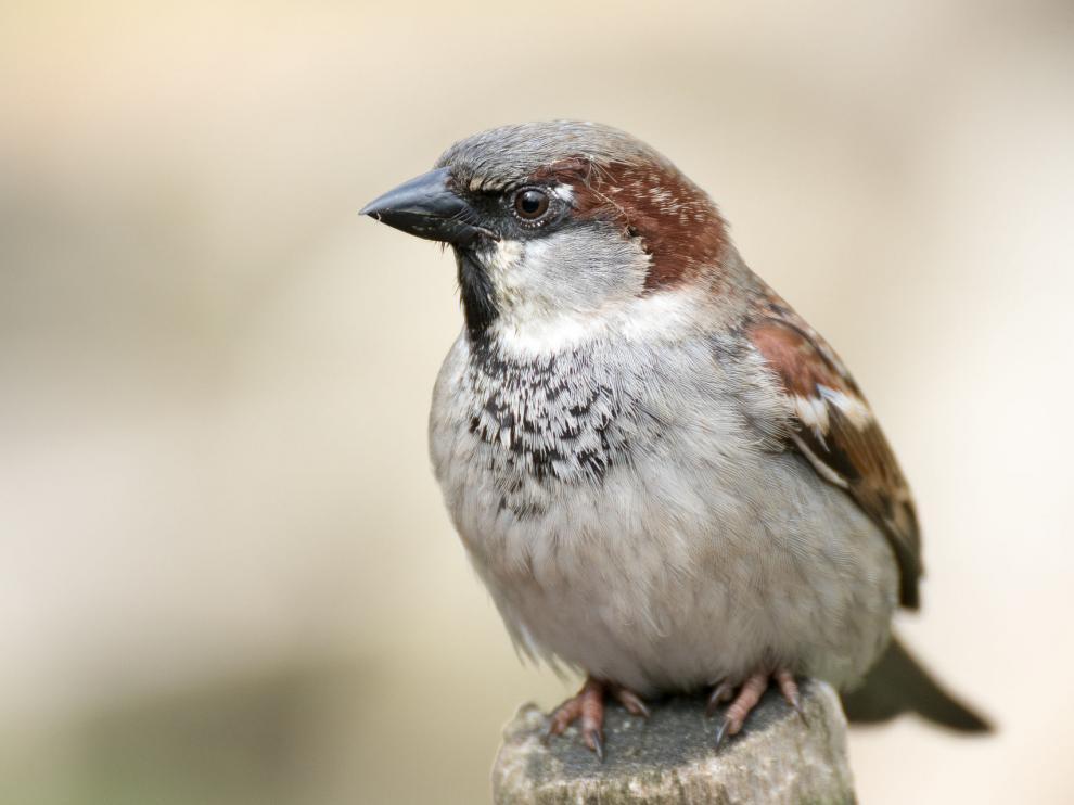 Se trata de un ave sedentaria distribuida por todo el planeta.