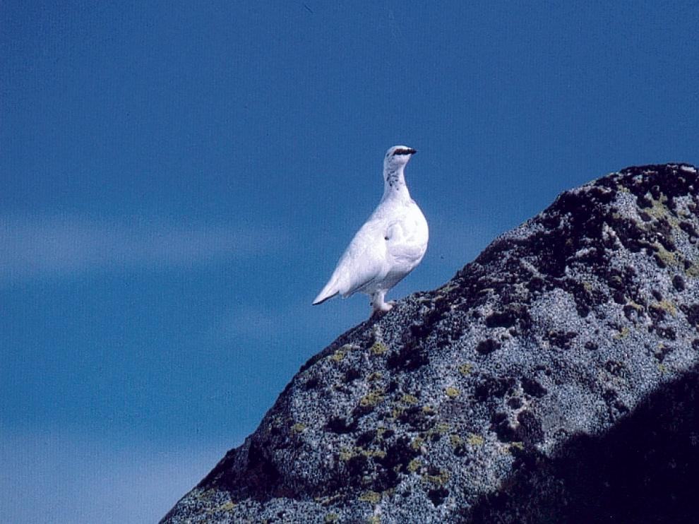 Imagen de lagópodo alpino o perdiz nival con el plumaje blanco, lo que en invierno le permite pasar desapercibida en las masas de nieve a los ojos de los depredadores.