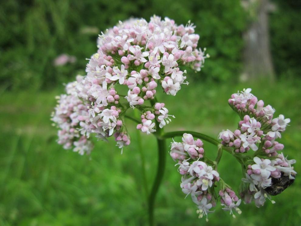 Plantas medicinales como la valeriana forman parte de la botica tradicional.