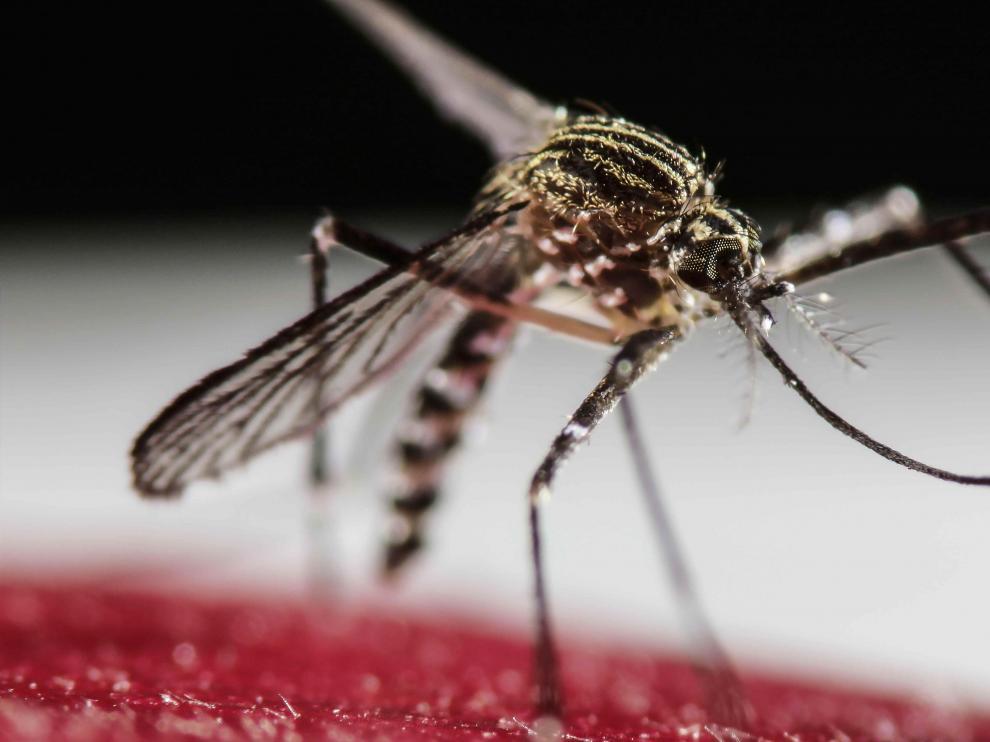 La fiebre por virus del Zika es una enfermedad viral, transmitida por mosquitos del género 'Aedes'.
