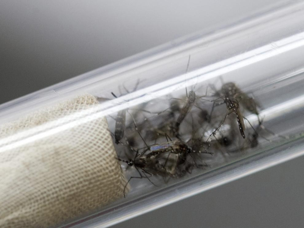 El zika es una enfermedad viral, transmitida por mosquitos del género 'Aedes'.