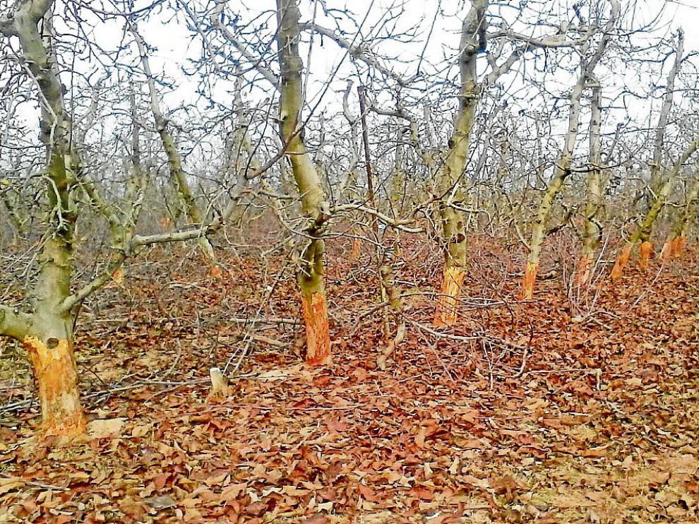 Los conejos han pelado la parte inferior de los troncos de los frutales en una finca de Épila.