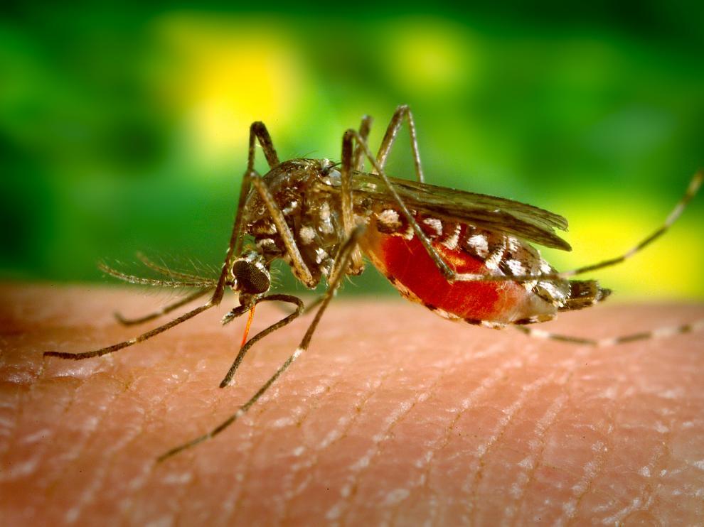 Aedes aegypti, el mosquito que transmite el virus del Zika.