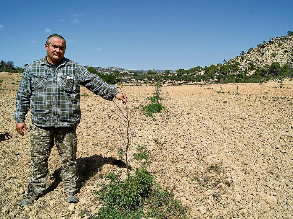Raúl Torner muestra los daños causados por las cabras en su plantación de almendros.