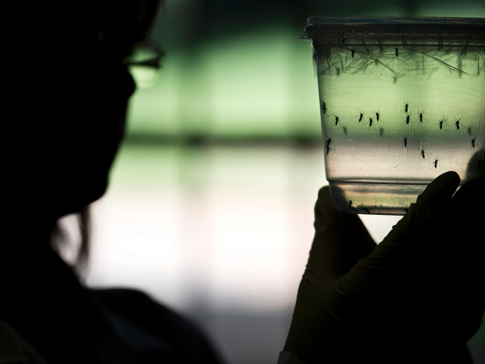 """Una investigadora brasileña estudia ejemplares del mosquito """"aedes aegypti"""", que contagia el virus del zika."""