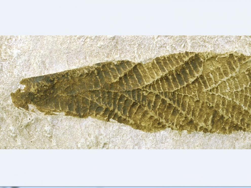 Charnia masoni. Precámbrico Hace 580 millones de años.