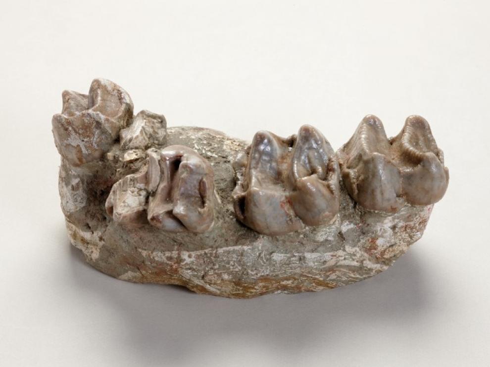 Deinotherium cuvieri, Villafeliche (Zaragoza). Aragoniense, Mioceno  Hace 16,5 millones de años.