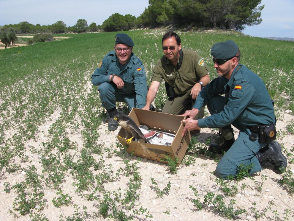 Los Agentes de Protección de la Naturaleza liberan al halcón recuperado en La Alfranca.