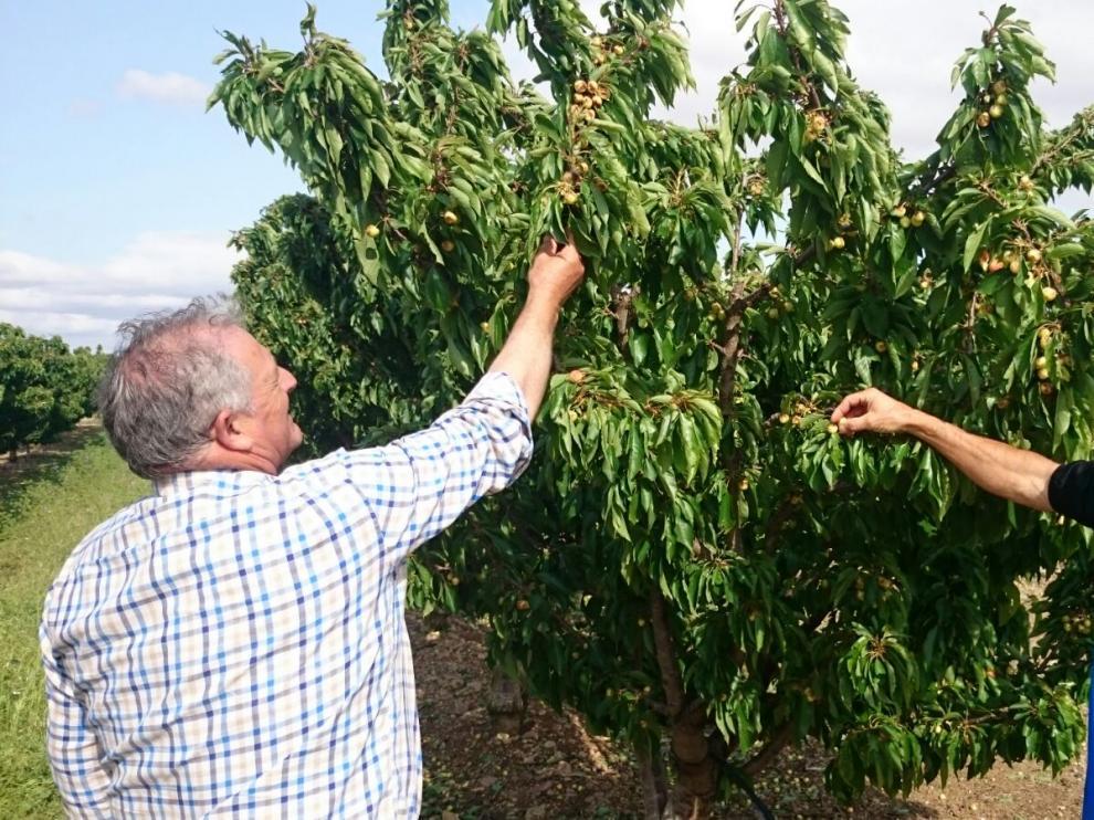 Los agricultores Gregorio Martínez (derecha), también concejal, y José Aldea observan los cerezos.