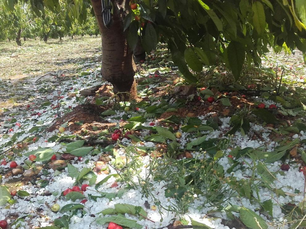 El pedrisco ha destruido gran parte de la cosecha de cereza.