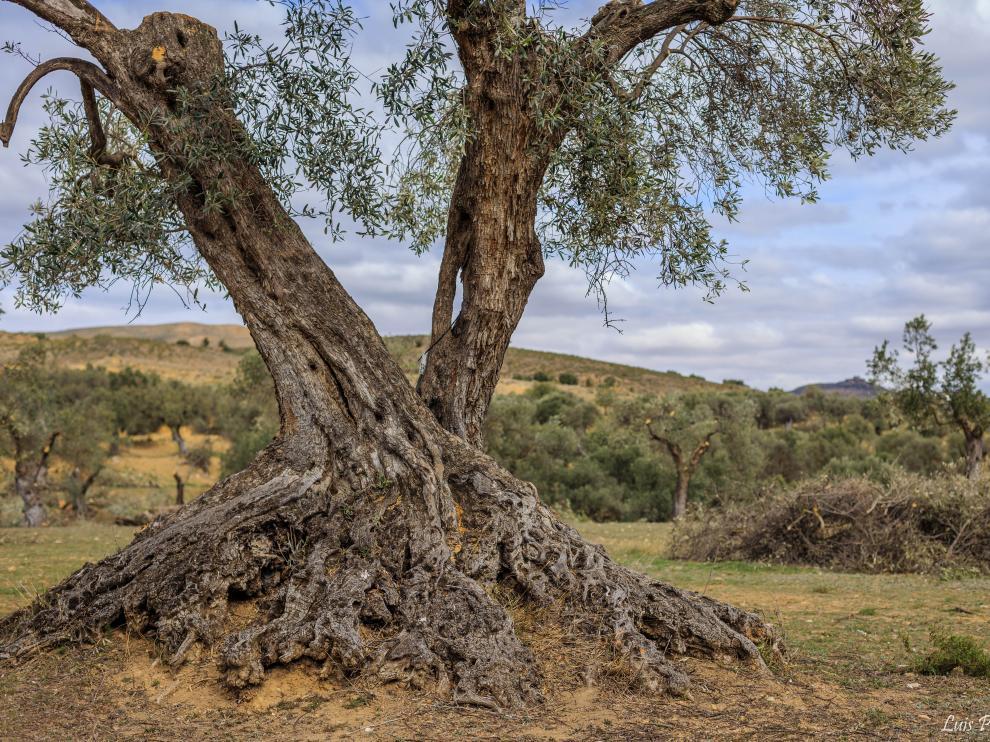 Apadrinaunolivo.org ha recuperado 4.500 olivos en Oliete (Teruel)