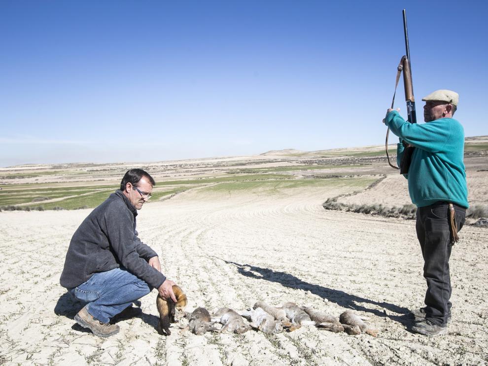 Dos cazadores de Épila, en un campo arrasado por los conejos en una imagen de febrero.