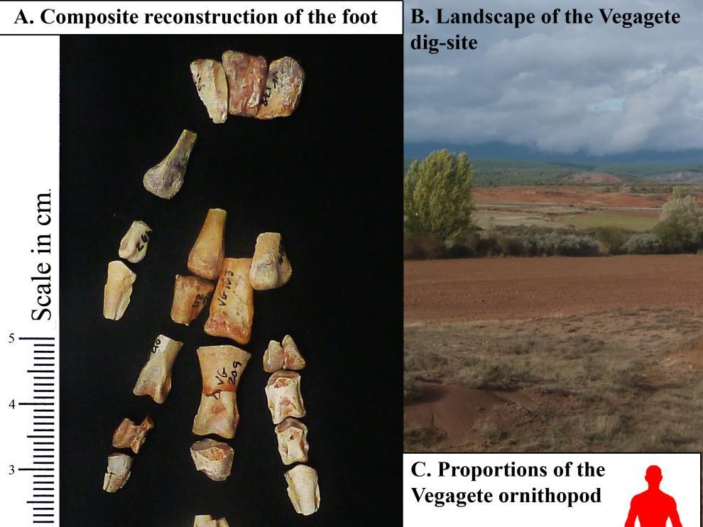 Algunos de los fragmentos del nuevo dinosaurio descrito