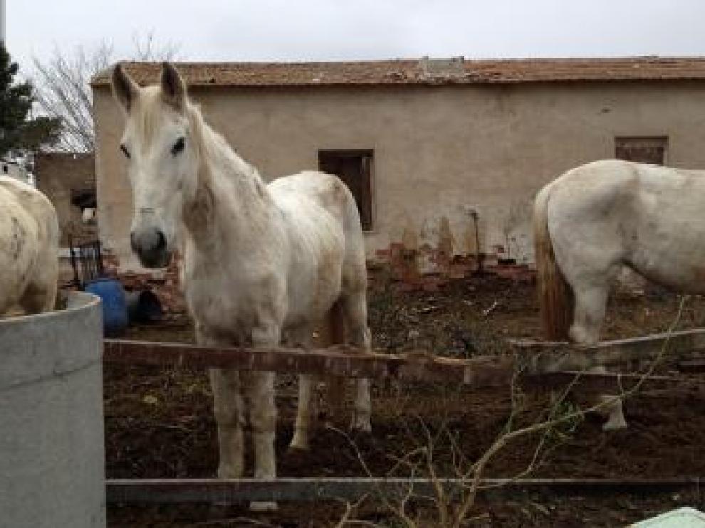 Algunos de los caballos maltratados.
