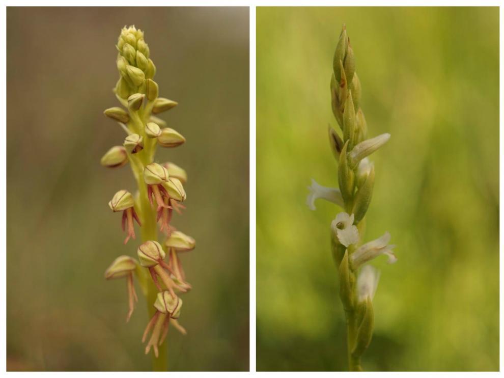Orchis Anthropophora y Spirantes aestivalis.