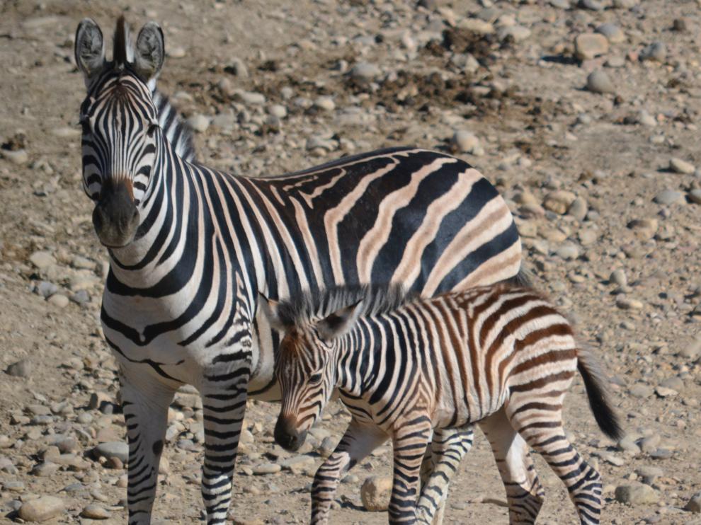 Nacen dos cebras de Burchell en el parque de Sendaviva