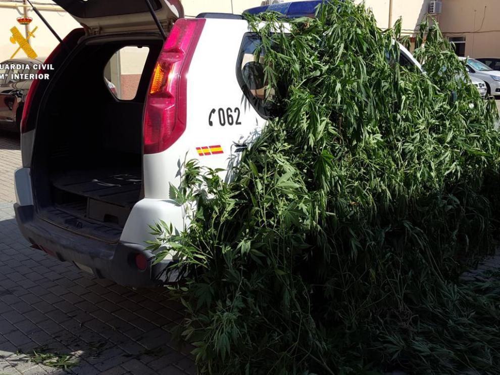 Tres detenidos en Caspe por cultivar 144 plantas de marihuana