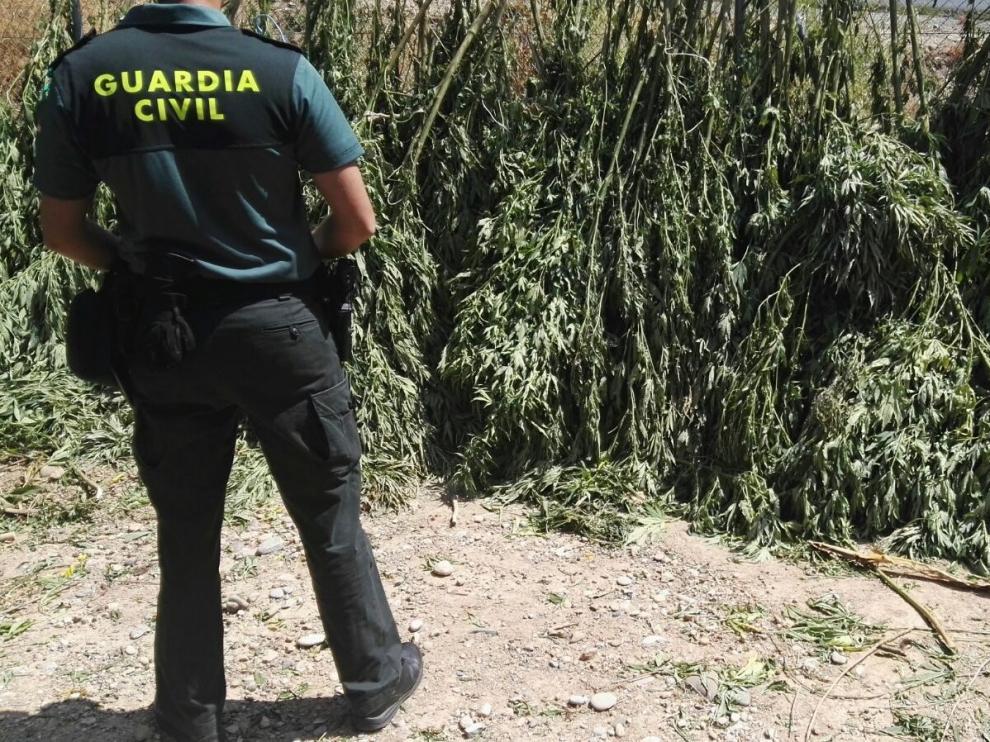 Intervenidas 74 plantas de marihuana en Belver de Cinca ocultas en campos de maíz