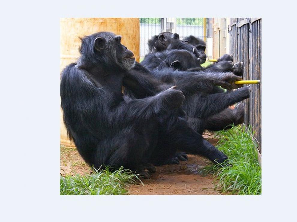 Chimpancés del Centro Nacional de Investigación de Primates Yerkes.