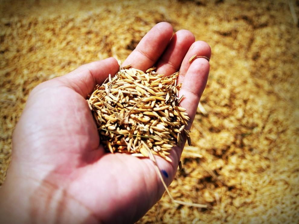 El salvado está formado por las capas más externas del grano.