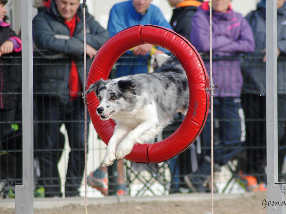 El 'agility' supone un reto intelectual para las mascotas.
