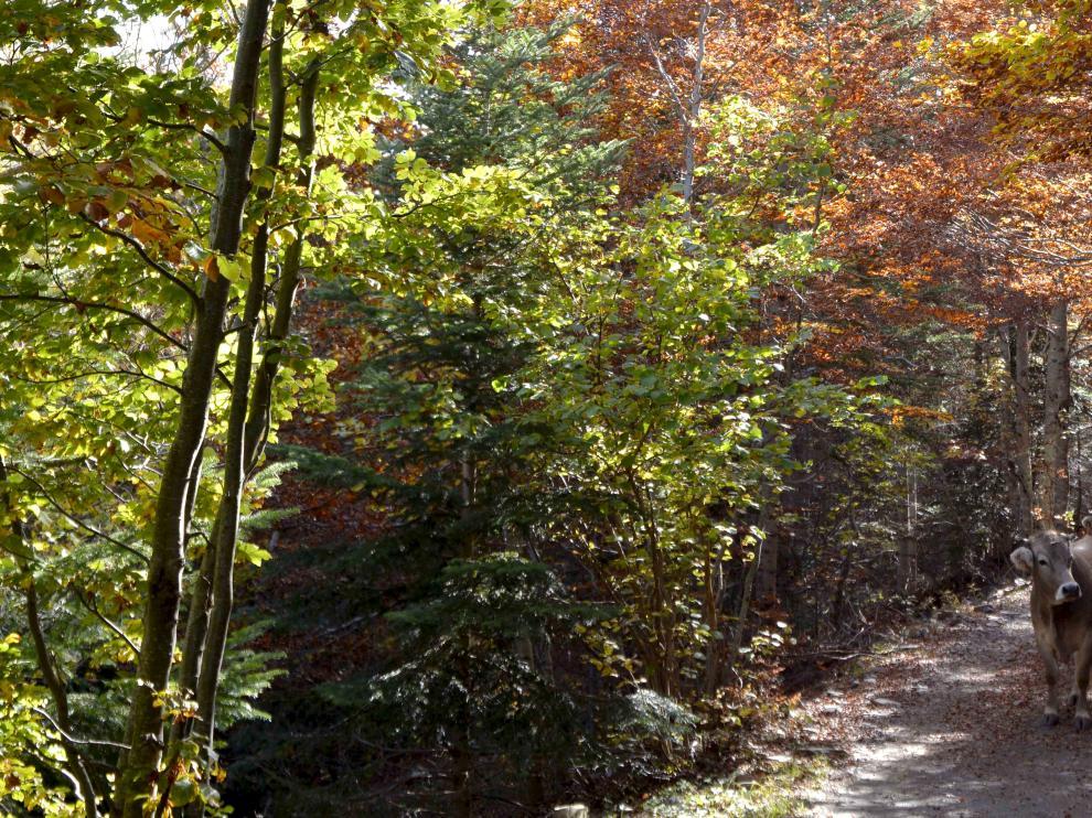 Colores más propios del otoño en un bosque en Llanos del Hospital (Benasque).