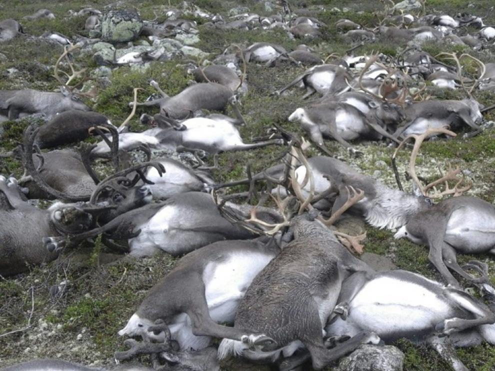 320 renos salvajes murieron por un rayo en Noruega